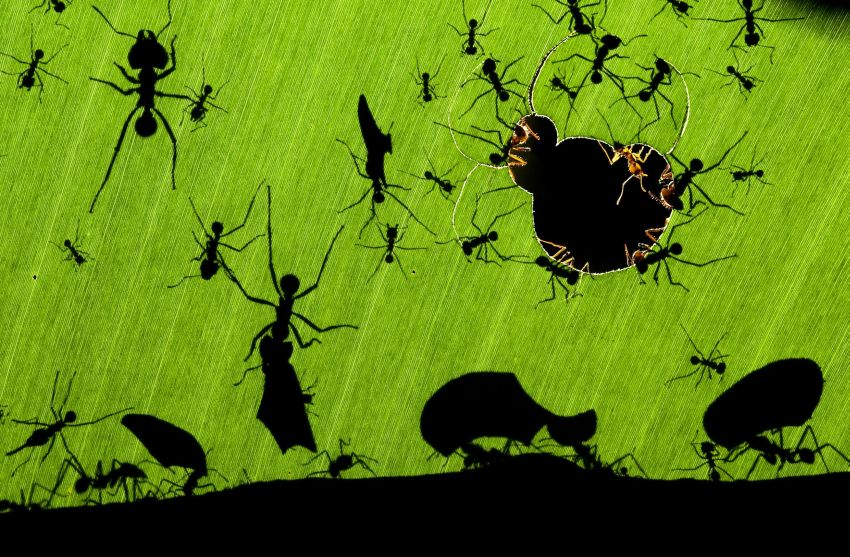 A marvel of ants, del fotógrafo húngaro Bence Maté, fotografía ganadora del Veolia Wildlife Photographer of the Year 2010.